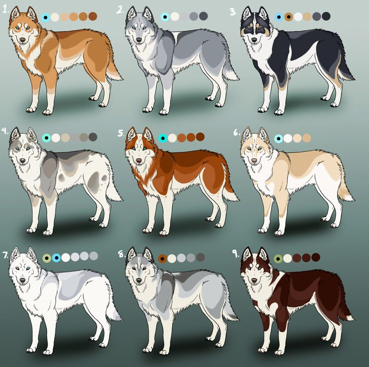 Siberian Husky coloring #9, Download drawings