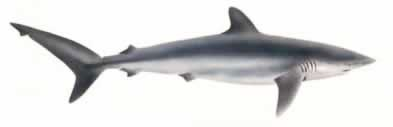 Silky Shark clipart #1, Download drawings