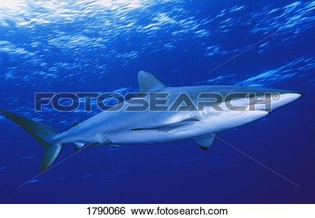 Silky Shark clipart #10, Download drawings
