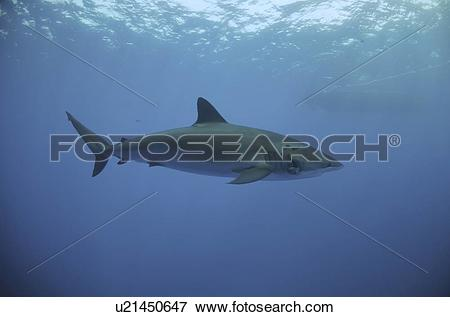 Silky Shark clipart #9, Download drawings