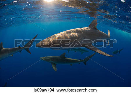 Silky Shark clipart #6, Download drawings