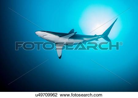 Silky Shark clipart #12, Download drawings