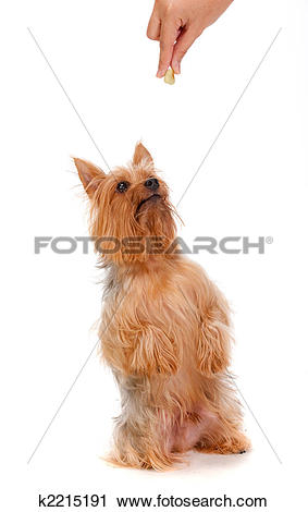 Silky Terrier clipart #7, Download drawings