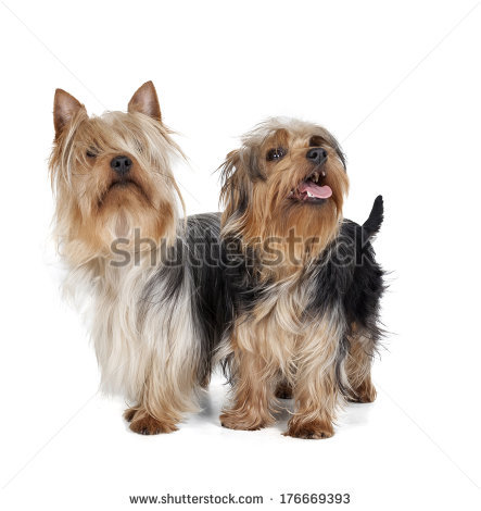 Silky Terrier clipart #5, Download drawings