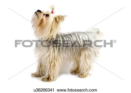 Silky Terrier clipart #3, Download drawings