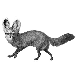 Silver Fox clipart #6, Download drawings