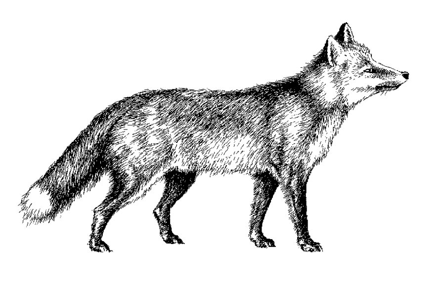 Silver Fox clipart #14, Download drawings