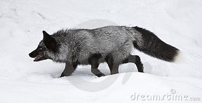 Silver Fox clipart #9, Download drawings