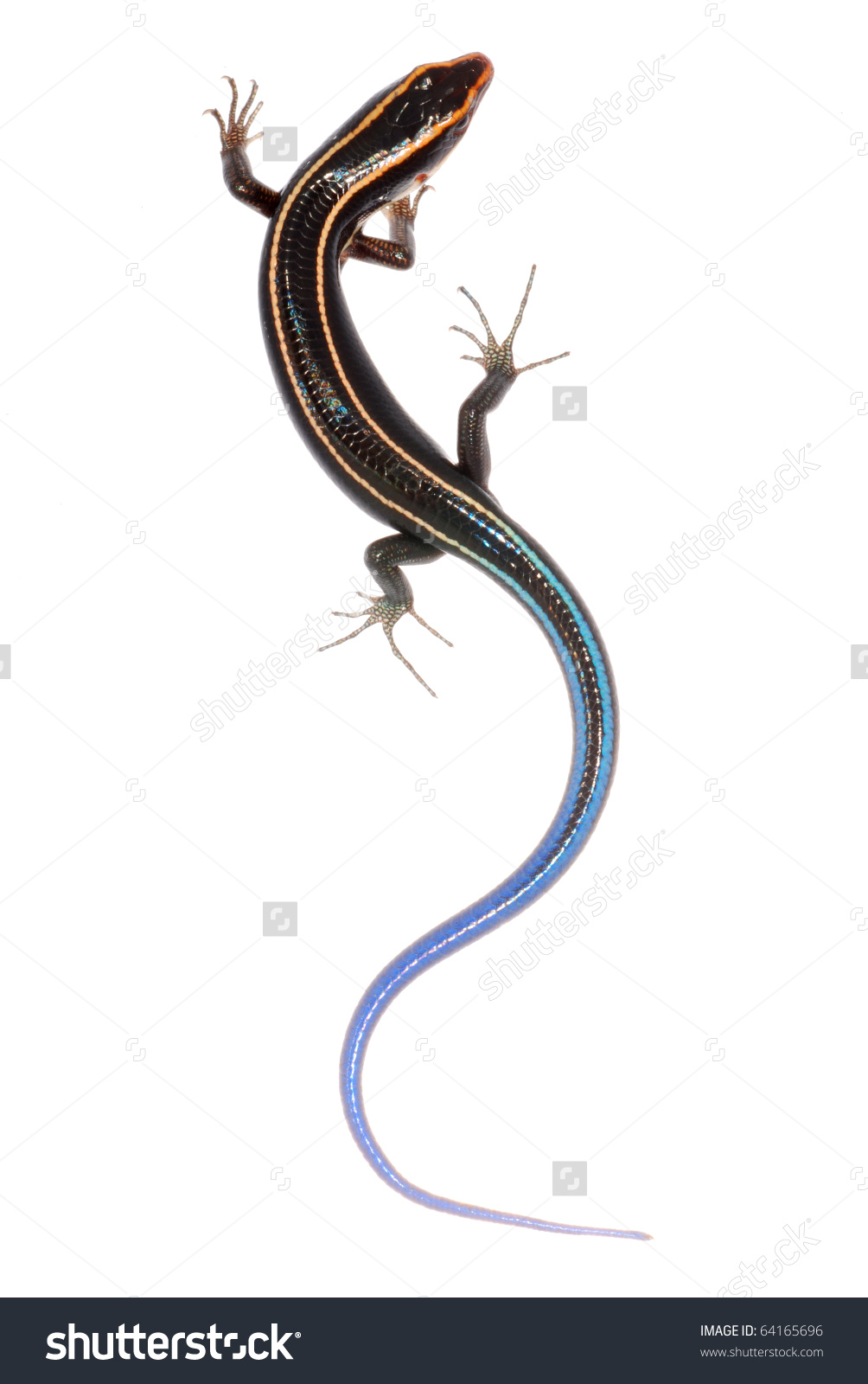 blue tailed skink coloring pages - photo#7