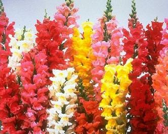 Snapdragons clipart #13, Download drawings