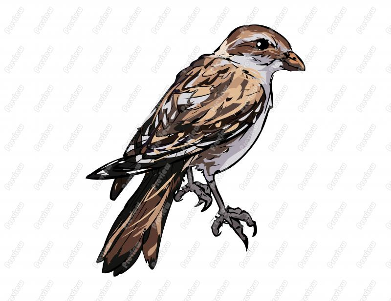 Snow Bunting clipart #1, Download drawings