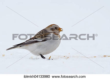 Snow Bunting clipart #5, Download drawings