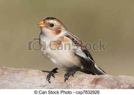 Snow Bunting clipart #14, Download drawings