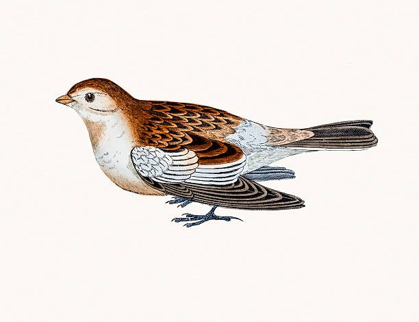 Snow Bunting clipart #6, Download drawings