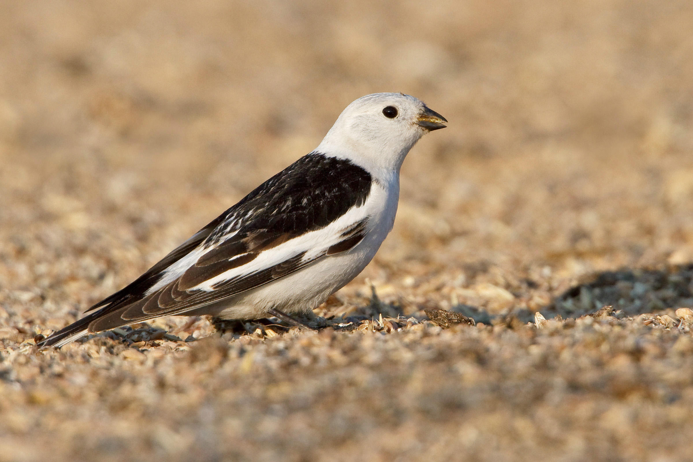 Snow Bunting clipart #4, Download drawings