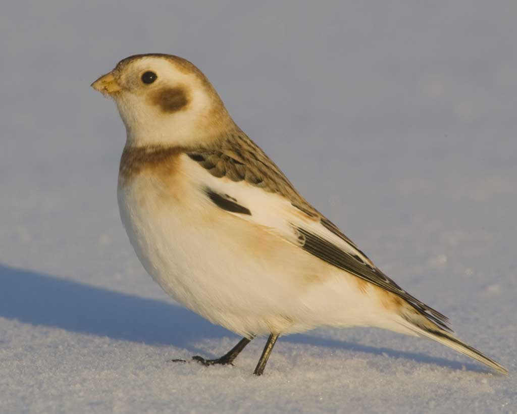 Snow Bunting clipart #10, Download drawings