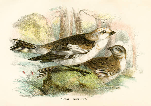 Snow Bunting clipart #12, Download drawings