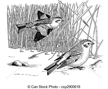 Snow Bunting clipart #9, Download drawings