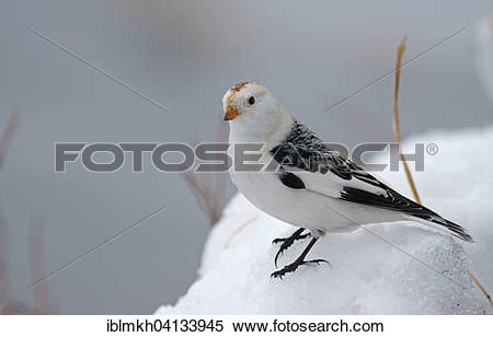 Snow Bunting clipart #13, Download drawings