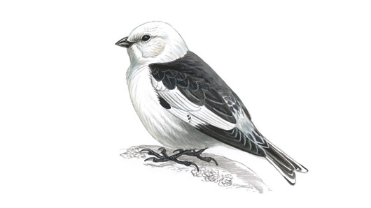 Snow Bunting clipart #3, Download drawings