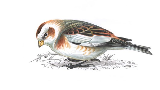 Snow Bunting clipart #2, Download drawings