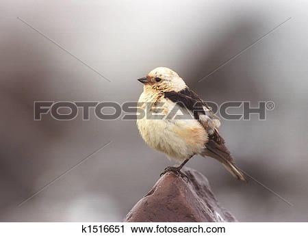 Snow Bunting clipart #17, Download drawings