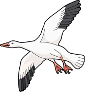 Snow Goose clipart #19, Download drawings