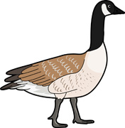Snow Goose clipart #17, Download drawings