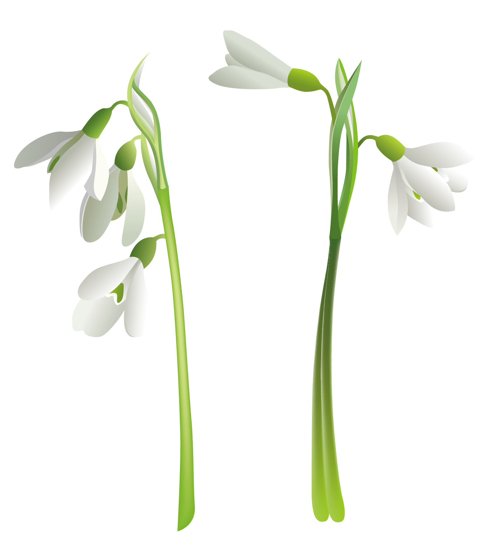 Snowdrop clipart #1, Download drawings