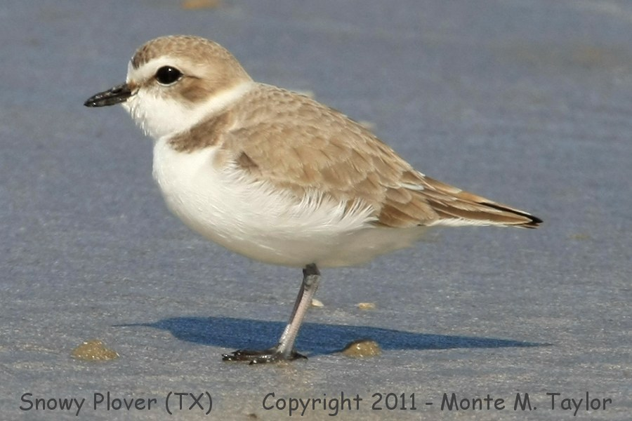 Snowy Plover clipart #12, Download drawings