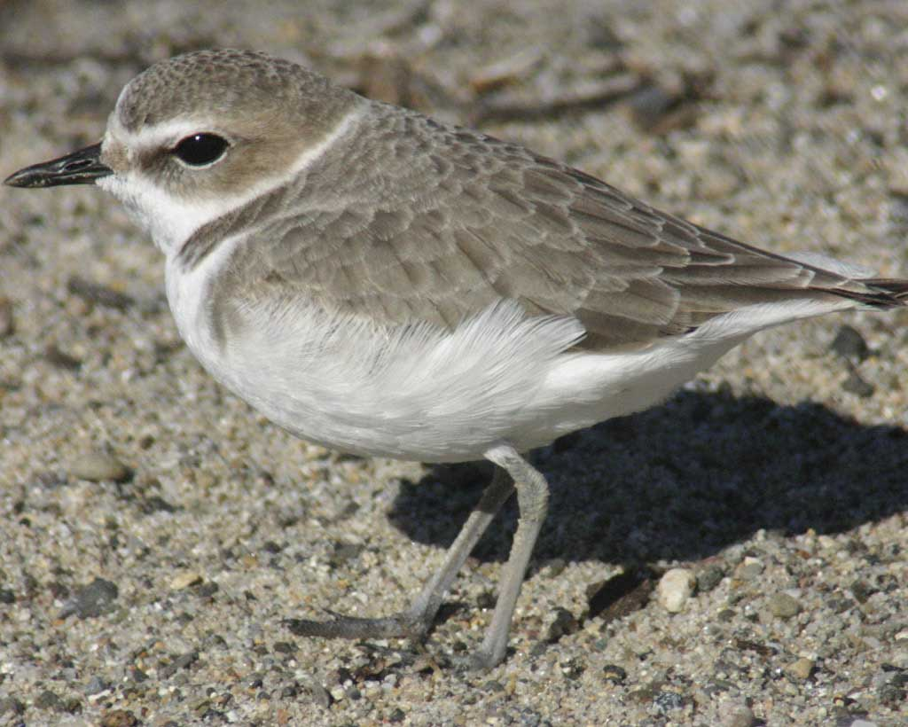 Snowy Plover clipart #16, Download drawings