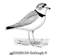 Snowy Plover clipart #9, Download drawings