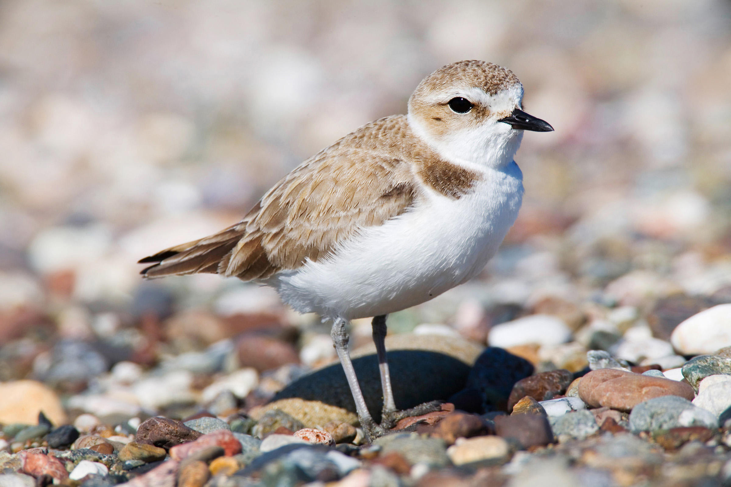 Snowy Plover clipart #18, Download drawings