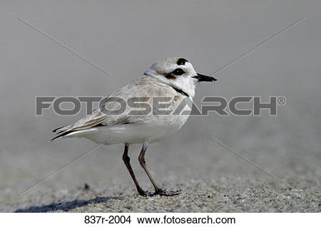 Snowy Plover clipart #13, Download drawings