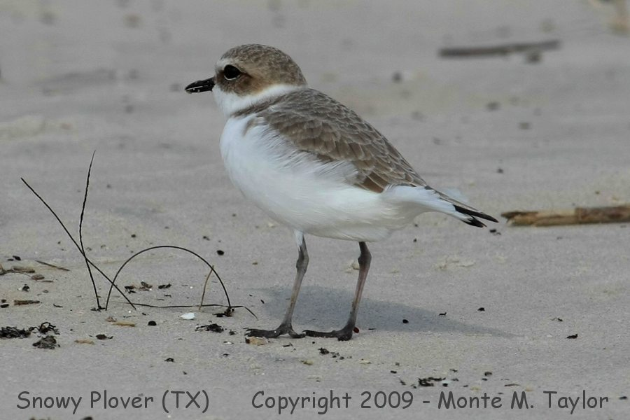 Snowy Plover clipart #15, Download drawings