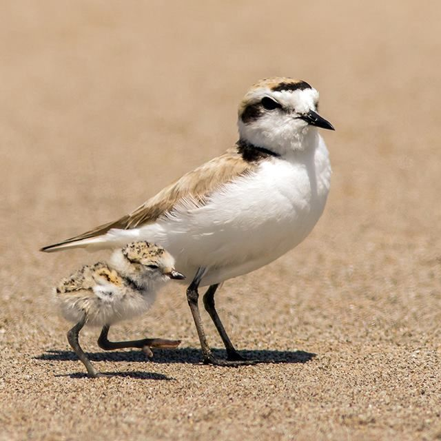 Snowy Plover clipart #14, Download drawings