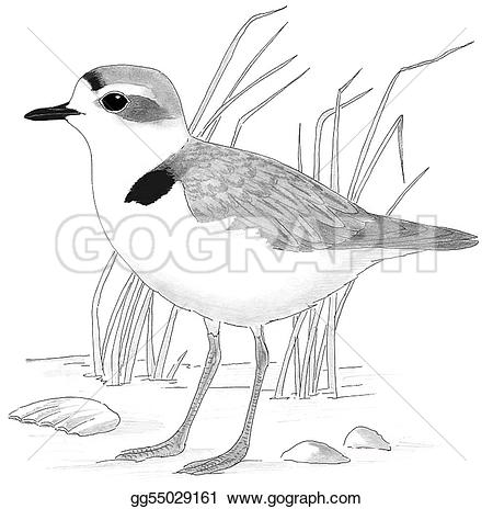 Snowy Plover clipart #6, Download drawings