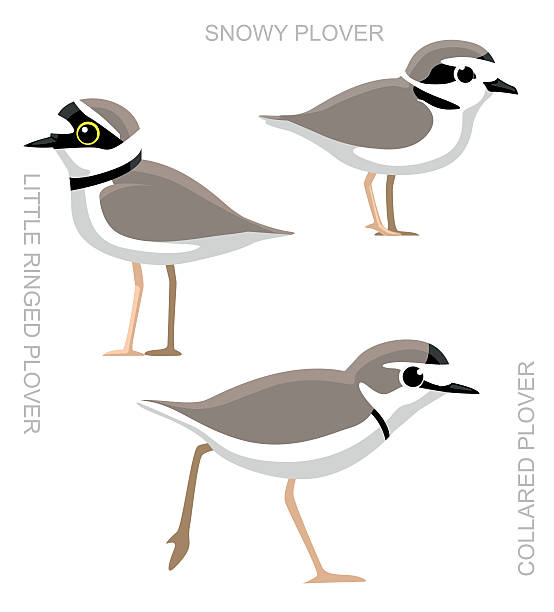 Snowy Plover clipart #3, Download drawings