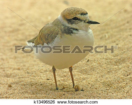 Snowy Plover clipart #10, Download drawings