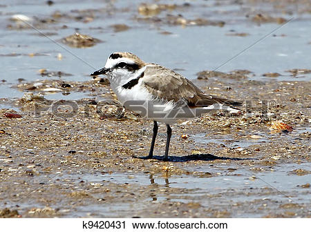 Snowy Plover clipart #11, Download drawings