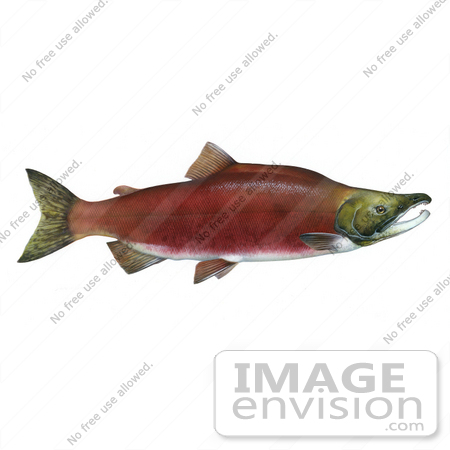 Sockeye Salmon clipart #5, Download drawings