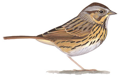 Song Sparrow clipart #16, Download drawings