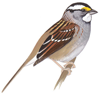White-crowned Sparrow clipart #20, Download drawings