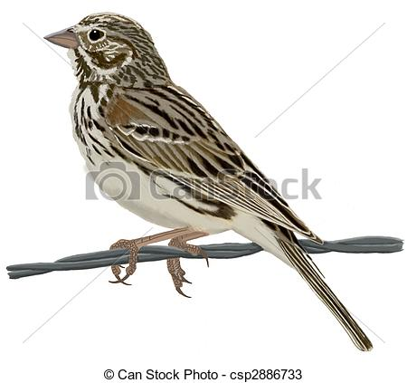 Song Sparrow clipart #9, Download drawings