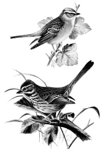 Song Sparrow clipart #3, Download drawings