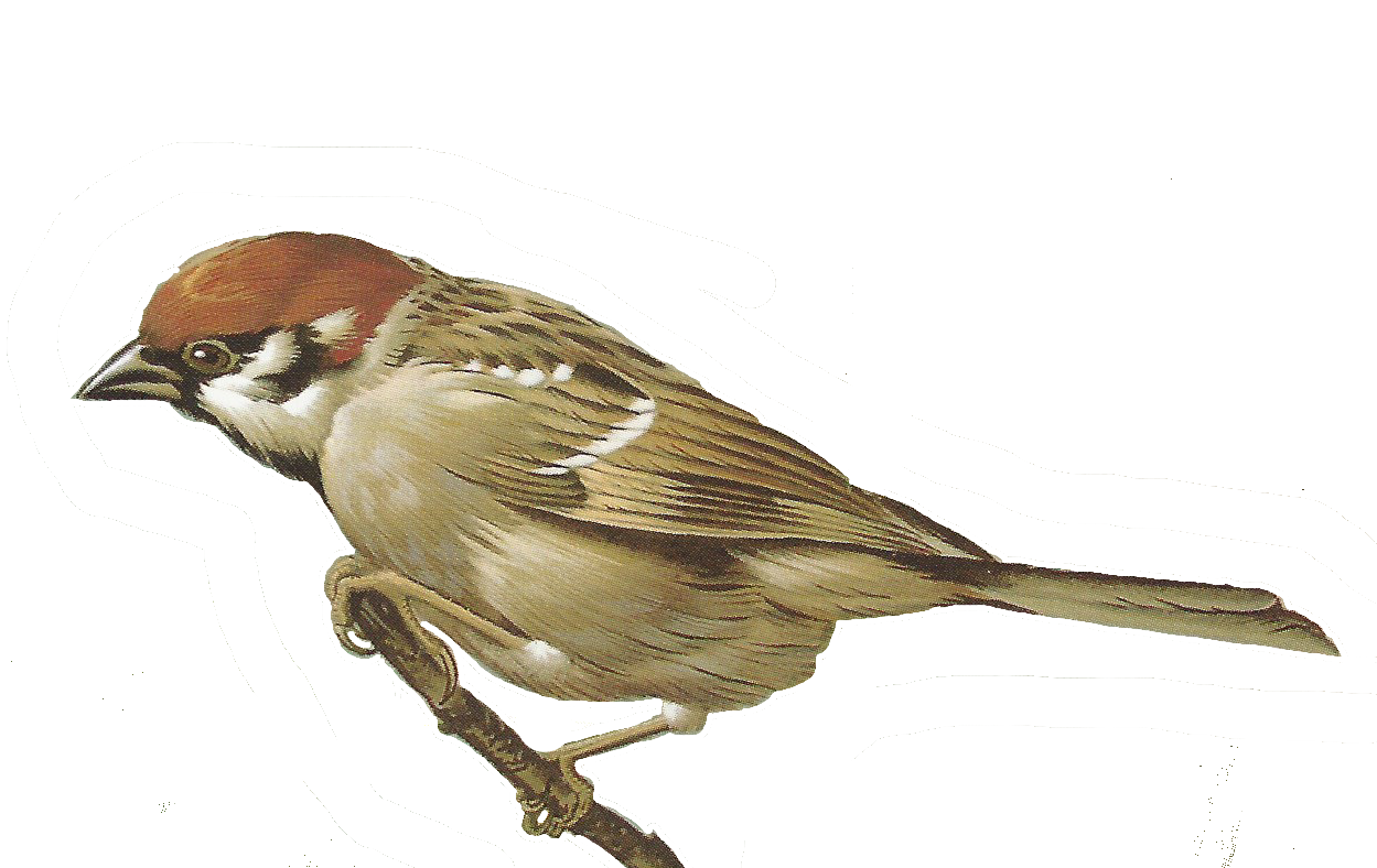Song Sparrow clipart #6, Download drawings