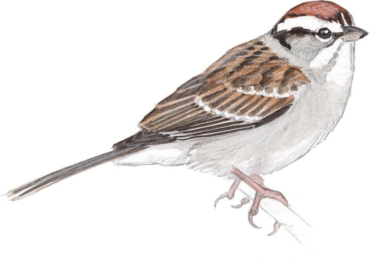 Song Sparrow clipart #5, Download drawings