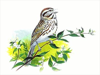 Song Sparrow clipart #15, Download drawings