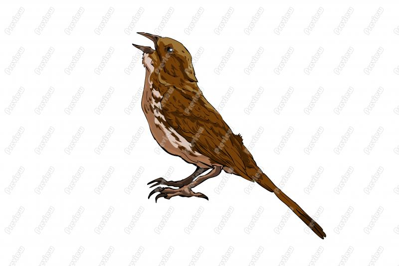 Song Sparrow clipart #14, Download drawings