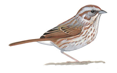 Song Sparrow clipart #17, Download drawings